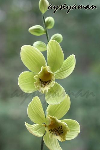 Şeker hamurundan orkide (gum paste orchids)