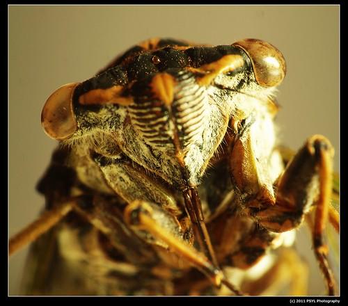 Face of a Dog-day Cicada (Tibicen canicularis)