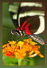 Hunger (Seahorse-Cologne) Tags: macro butterfly papillon makro mariposa nahaufnahme schmetterling flickrduel