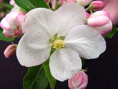 G.30 Blossom