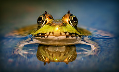Frog (Jordan Stern) Tags: eye nature water swim bug relax fly eyes sit flies bugging siting
