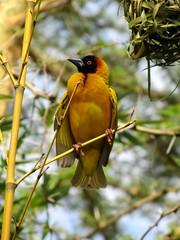 speke's weaver (bindubaba) Tags: uganda weaver birdlife