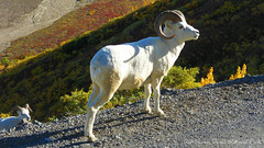 Wildlife - Animal - Dall Sheep in Denali National Park (blmiers2) Tags: travel autumn mountains fall nature beautiful animal animals alaska nikon wildlife coolpix s3000 denalinationalpark dallsheep blm18 blmiers2