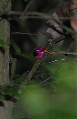 Philippine Dwarf-kingfisher Ceyx melanurus (Bram Demeulemeester - Birdguiding Philippines) Tags: zamboanga bramdemeulemeester ceyxmelanurus philippinedwarfkingfisher birdguidingphilippines birdingtoursphilippines