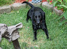 midnight resting in the backyard (triciawd) Tags: dog toronto garden blacklab labradorretriever lyingdown eatinggrass