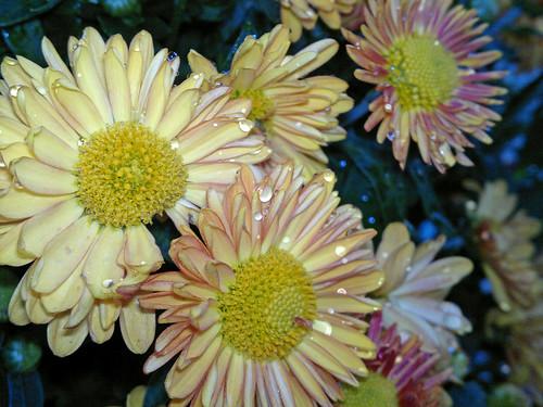 chrysanthemum flower blooms
