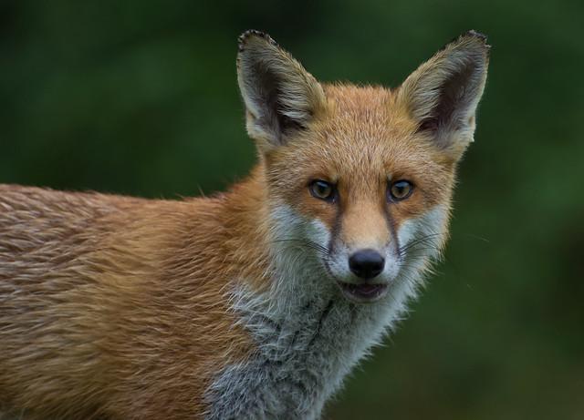 red fox 10
