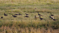 Canada Geese in wet meadow IMG_8232 (Hart Walter) Tags: marmot muledeer canadageese hotsprings sandhillcrane mtlassen riverotter lassenvolcanicnationalpark mountainflowers bumpasshell mountainmeadows yellowbelliedmarmot sootygrouse coniferousforests northerncaliforniamountains drakesbadlodge