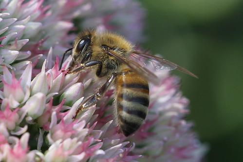 Honey Bee (Apis mellifera Linnaeus) by Jim, the Photographer, on Flickr