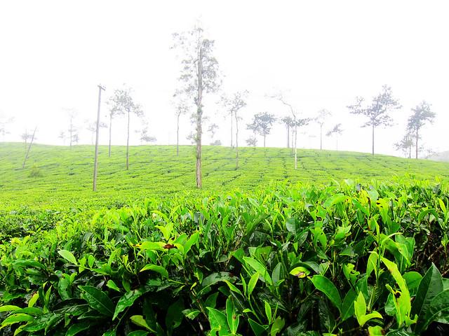 Tea Garden, Wayanad