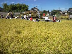 田んぼの学校、稲刈りなう。