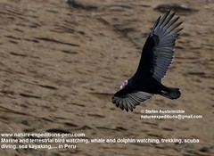 Turkey vulture Birding Peru (3) (Nature Expeditions 06) Tags: world new trip sea vacation bird peru nature port turkey island islands marine holidays tour birding stefan trips guide vulture aura guano colonies turkeyvulture cathartesaura cathartes expeditions pucusana cathartidae newworldvultures birdguide sealioncolonies natureexpeditions birdinginperu austermhle birdingperu vulturesofperu