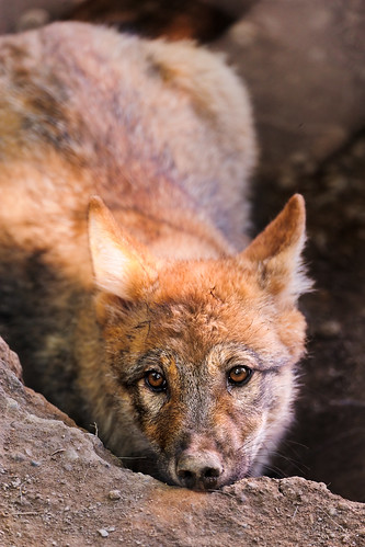 Wolf pup looking tired by Tambako the Jaguar