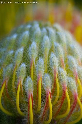 Protea leucospermum by alison lyons photography