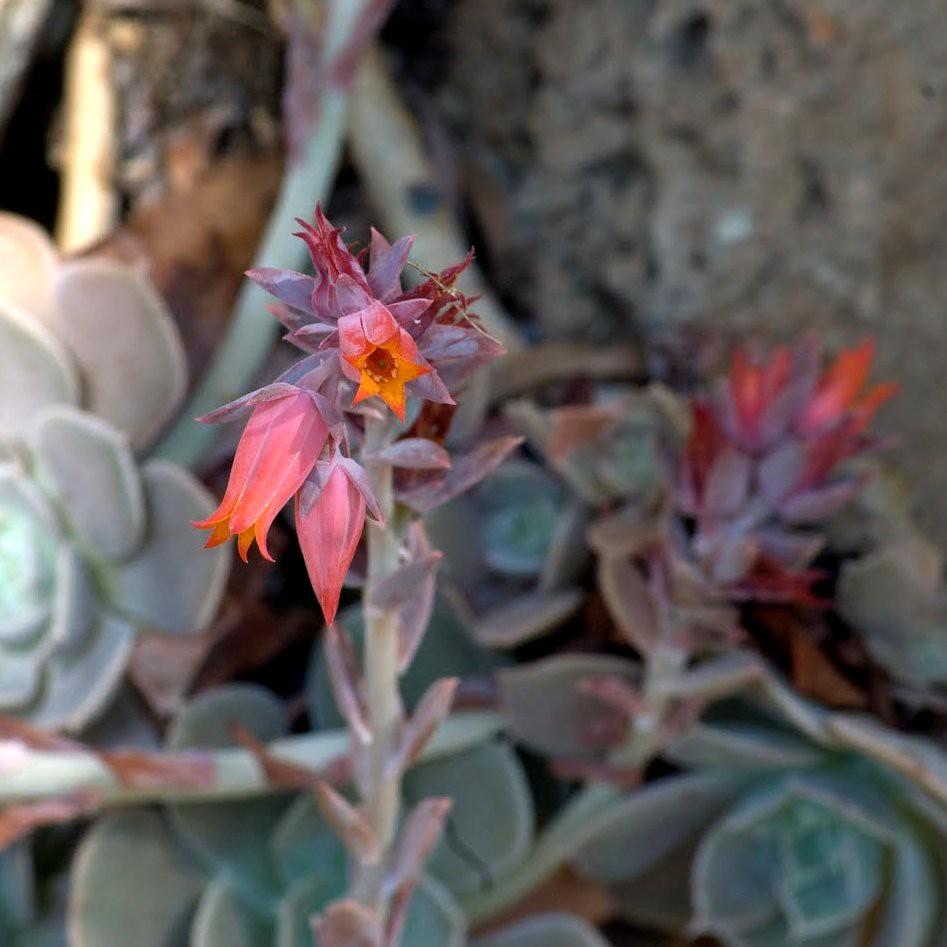 Ghost Echeveria flower