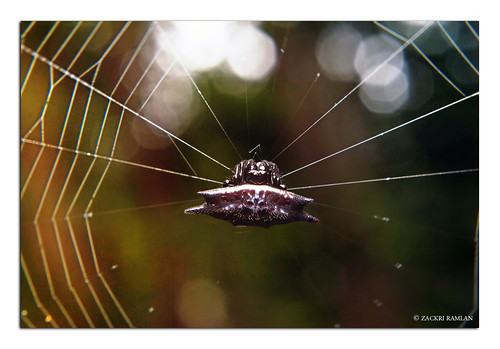 Spiny Orb Weaver Spider by Zackri Zim'S