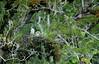 Philippine Eagle-Pithecophaga jefferyi (Bram Demeulemeester - Birdguiding Philippines) Tags: philippines mindanao philippineeagle pithecophagajefferyi bramdemeulemeester birdguidingphilippines birdingtoursphilippines