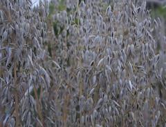 Heritage oats (Fluffymuppet) Tags: heritage grain heirloom oats ryton exoticgarden