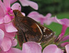 She Made My Day! (jrix) Tags: garden butterflies aug11 zabulonskipper poaneszabulon buzznbugz theenchantedcarousel backyardbutterflies grassskippershesperiinae phloxpaniculatamisskaren texaszeenyuhs