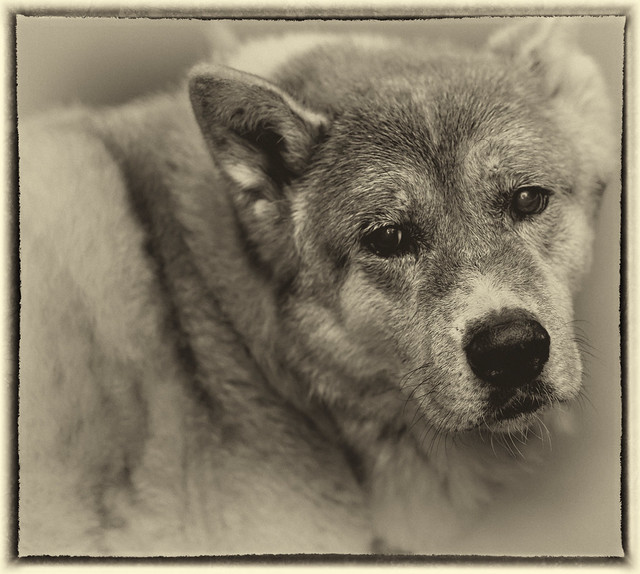 Woody the Wonder Akita