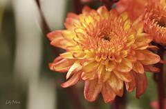 Naranjas intensos (Lily Arleo) Tags: flowers orange flores argentina foto amarillo fotografia naranja photografy photho bohen