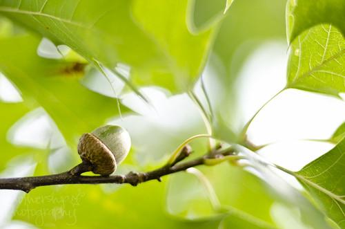 233:365 每棵橡树都开始时是一对站着地面的坚果。 ~ Unknown