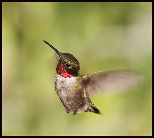 Male ruby-throated hummingbird in flight 7 by Jen St. Louis