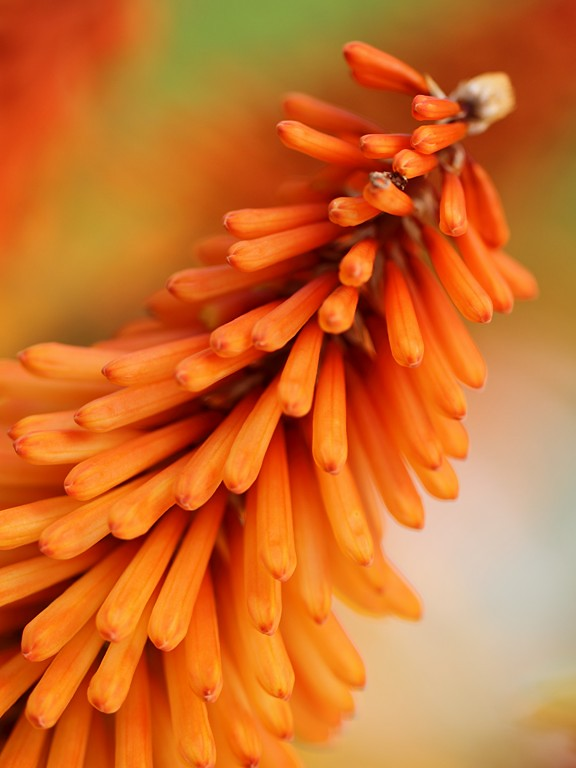 Tall Orange Flowers (Knipofia / Torch Lily / Red Hot Poker) by Antari Foster