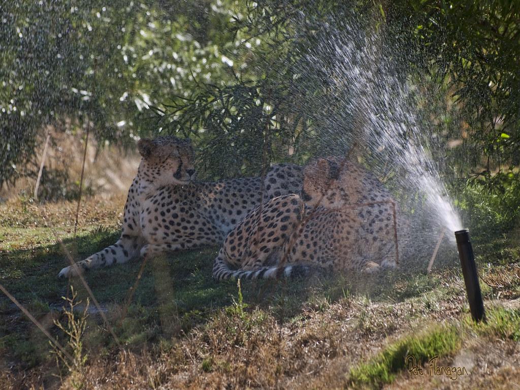 Cheetah Sisters  133/365