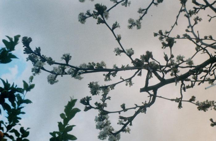 blossoms {yashica}
