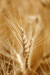 Agricultural Gold (NikonDigifan) Tags: photoshop washington nikon bokeh wheat grain explore nik acr palouse d300 colorefexpro 50mm18nikkor viveza mikegassphotography