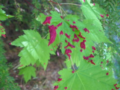 Purple Douglas Maple (troyinthewoods) Tags: douglasmaple acerglabrum