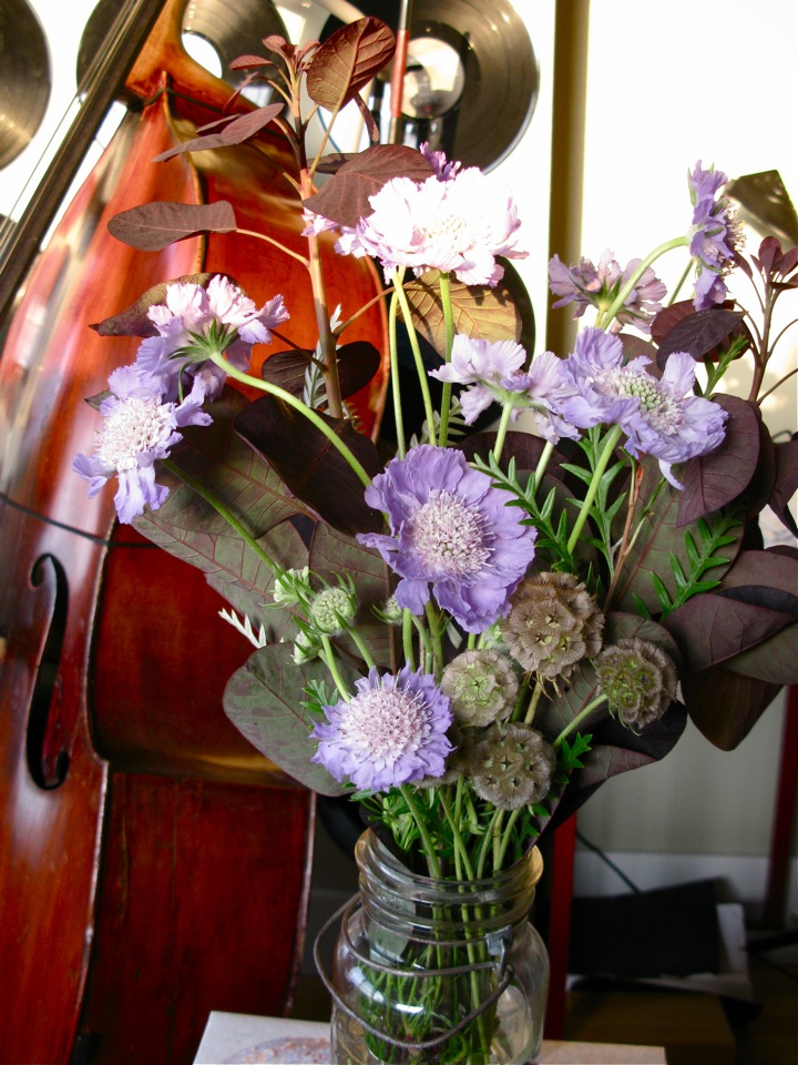 purple scabiosa flowers 001