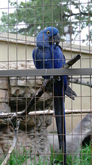 Arara Azul (biancamagalhaes) Tags: canada calgary animal zoo