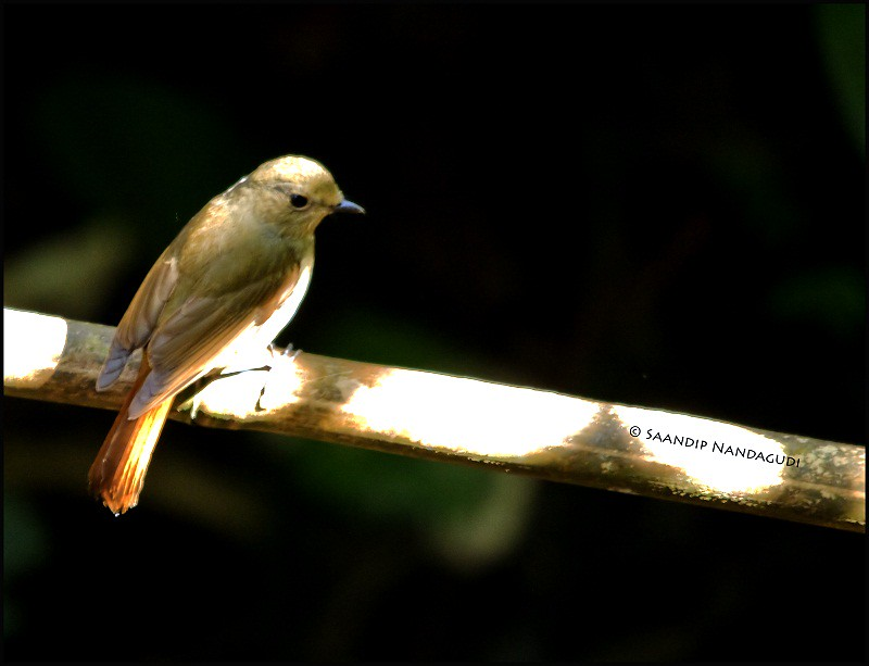 Hill Blue Flycatcher-Female