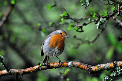 Watching you with my beady eye (rosyrosie2009) Tags: uk england robin birds closeup photography countryside cornwall erithacusrubecula wildlife beak feathers tamron gettyimages westcountry redbreast beadyeye flickrduel d5000 tamronaf70300mmf456dildmacro tamron70300mmlens nikond5000 rosiespooner rosyrosie2009 erithacusrubella rosemaryspooner rosiespoonerphotography