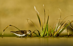 Golden Light Least Sandpiper (Canter Photography) Tags: bird nature nikon wildlife sandpiper shorebird leastsandpiper calidrisminutilla 600mmf4 14teleconverter nikond3s peregrino27life
