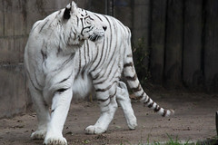 White tiger (Schubs) Tags: portrait white blanco animal fauna zoo paw retrato tiger tigre striped tier bengali garra rayado bengala