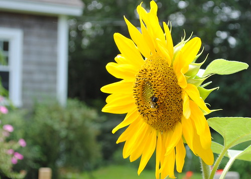 Maine - sunflower with house 2