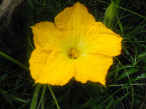 Flor macho
