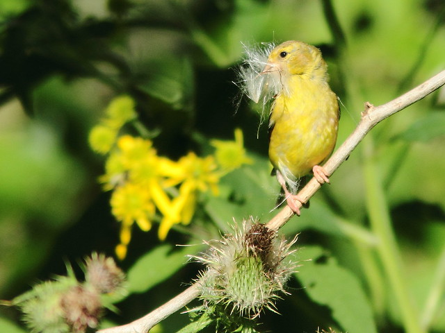 American Goldfinch with thistle down 20110825
