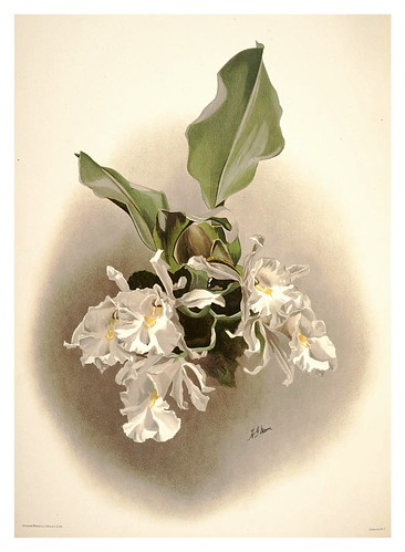 009-Trichopilia suavis alva-Reichenbachia-Orchids illustrated and described..Vol I-1888-F.Sander