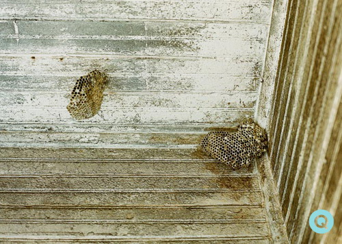 Texas-wasp-nest