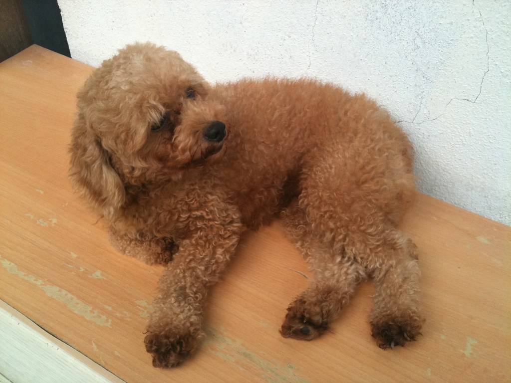 My Toy Poodle Ching Ching