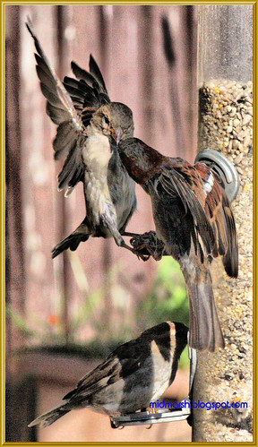 Sparrow Altercation
