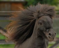 Olivier - (explored) (pwsonline) Tags: horses hair nikon ollie pferde shetland olivier equine paarden shetlandpony haar vrijheid freedon manen manes d700 nikond700 pwsonline sigma70200hsmf28