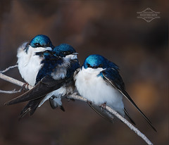 An Intrepid Trio of Tree Swallows (kdee64) Tags: spring snowstorm may yukon whitehorse alder yukonriver sunning treeswallow tachycinetabicolor migratorybird freezingtemperatures slbroosting bertlawisland