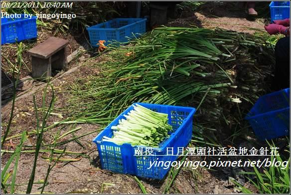 南投魚池_頭社活盆地金針花20110821_I1296