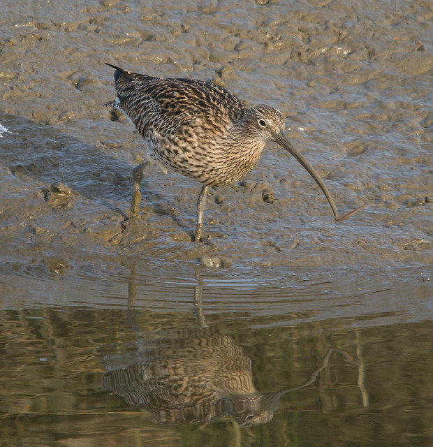 curlew  with lugworm