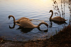 IMG_6064 (christophemurphy) Tags: sunset lake swan boating rickmansworth aquadrome